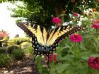 butterfly photo, yellow butterfly